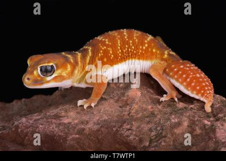 Smooth knob-tailed gecko (Nephrurus levis) - Stock Photo
