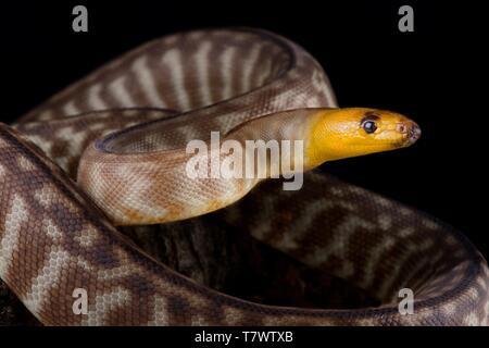 Woma python (Aspidites ramsayi) - Stock Photo
