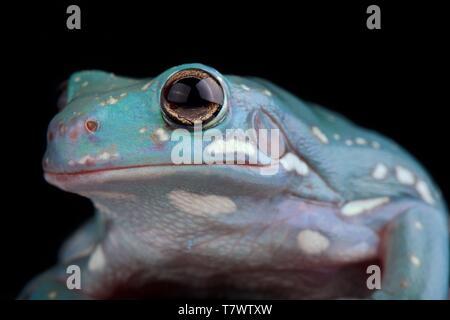 White's Tree Frog (Litoria caerulea) - Stock Photo