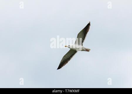 American Herring Gull (Larus argentatus) aka: Smithsonian Gull - Stock Photo