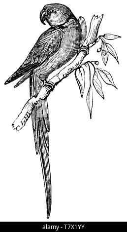 Wood cut engraved illustration, taken from 'The Treasury of Natural History' by Samuel Maunder, published 1848