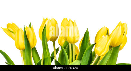 Yellow tulips isolated on white background. Spring flowers. - Stock Photo