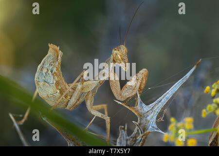 Ameles spallanzania, European dwarf mantis, is a species of praying mantis belonging to the genus Ameles. - Stock Photo