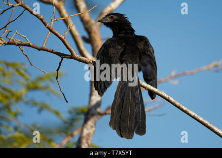 Groove-billed Ani - Crotophaga sulcirostris tropical bird in the cuckoo family, long tail and a large, curved beak. Resident species from Texas, Mexic - Stock Photo