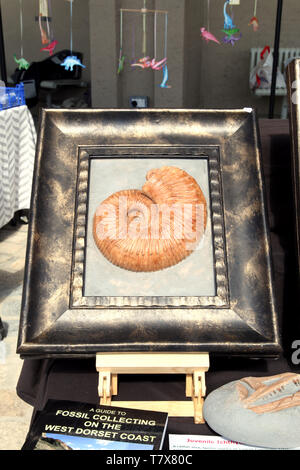 Large ammonite framed in an antique frame on shop display - Stock Photo