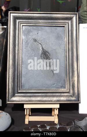 Framed juvenile ichthyasauron dinosaur fossil display in shop - Stock Photo
