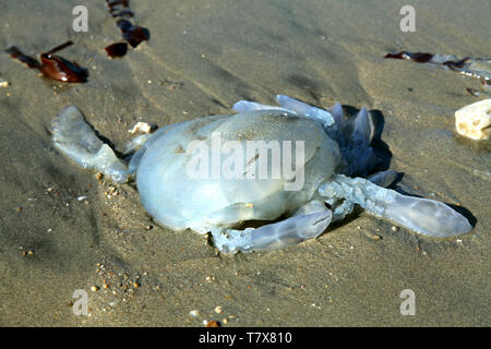Charmouth Beach, Dorset, UK - Dead Barrel Jellyfish lying on sandy beach, 2019 - Stock Photo