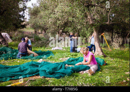 Olive harvest in Crete Greece from picking olives to the olive mill for pressing the olives into olive oil - Stock Photo