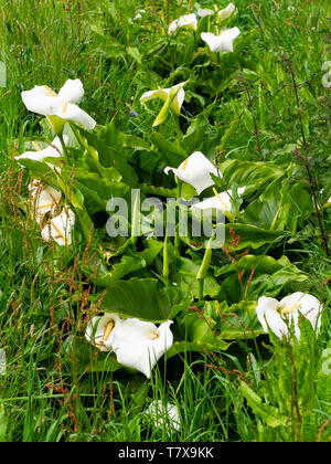 White spathes and yellow spadices of the South African Calla lily, Zantedeschia aethiopica, naturalised in a UK ditch - Stock Photo