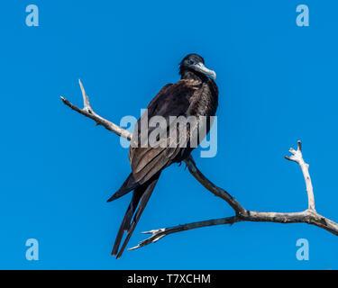 Adult male Magnificent frigatebird (fregata magnificens) perched on a dead branch in Baja California, Mexico. - Stock Photo