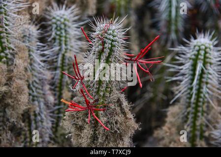 Flowering cacti (Eulychnia acida) growing on Isla Damas, Humboldt Penguin Reserve, Punta Choros, Chile - Stock Photo