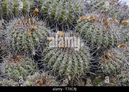 Arborescent cactus (Eulychnia acida) growing on Isla Damas, Humboldt Penguin Reserve, Punta Choros, Chile - Stock Photo