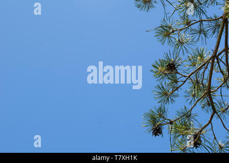 Green branch of fir on the background of blue sky. Nature background. - Stock Photo