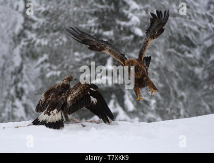 Golden eagles in winter, Utajarvi, Finland
