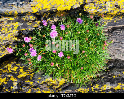 Small group of pink Sea Thrift wildflowers growing on lichen covered slate rock in an estuary near Porthmadog, Wales - Stock Photo