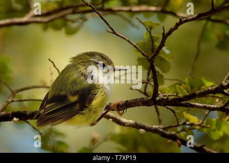 Acanthisitta chloris - Rifleman - titipounamu male - endemic bird from New Zealand - Stock Photo