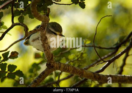Acanthisitta chloris - Rifleman - titipounamu male - endemic bird from New Zealand. - Stock Photo