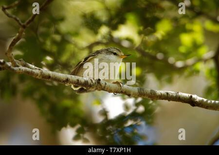 Acanthisitta chloris - Rifleman - titipounamu female - endemic bird from New Zealand. - Stock Photo