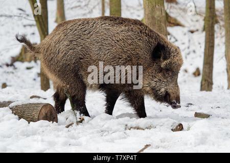Eurasian Wild Boar - Sus scrofa on the white snow in winter, Europe.