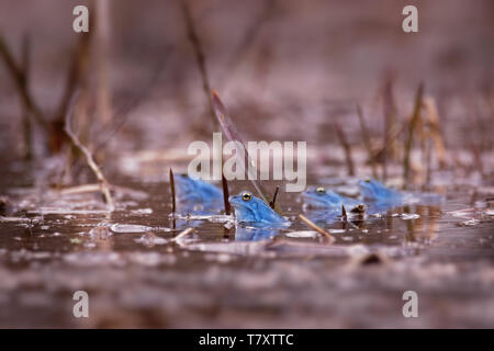 Moor Frog - Rana arvalis blue european frog in the small pond during spring in Czech republic, Moravia - Stock Photo