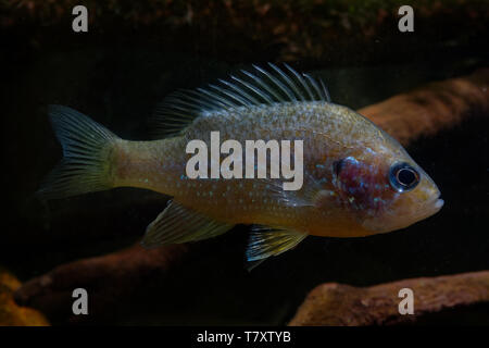 The pumpkinseed = Common Sunfish (Lepomis gibbosus) is a North American freshwater fish of the sunfish family (Centrarchidae). It is also referred to  - Stock Photo