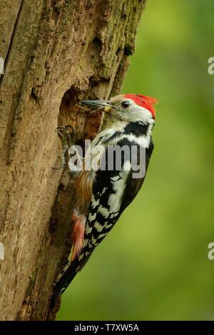 Middle Spotted Woodpecker - Dendrocopos medius sitting on the tree trunk and feeding, green forest - Stock Photo