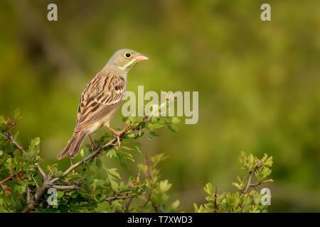 Ortolan Bunting (Emberiza hortulana) perched on a hawthorn branch. - Stock Photo