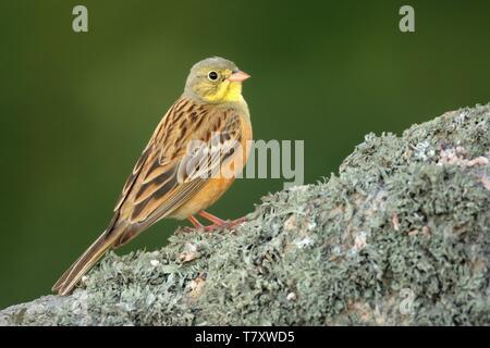 Ortolan Bunting (Emberiza hortulana) perched on a rock captured close up. - Stock Photo
