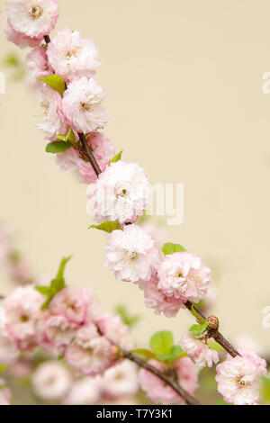 In the spring on a branch of an almond Bush blossomed gently pink small flowers.Texture or background. - Stock Photo