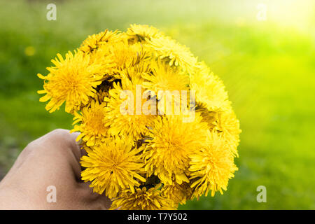 female hand holding a small bouquet of yellow dandelion bouquet flowers - Stock Photo