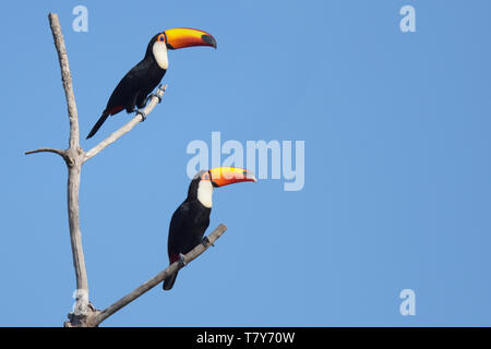 Pair of Toco Toucans (Ramphastos toco) in the Pantanal, Brazil - Stock Photo