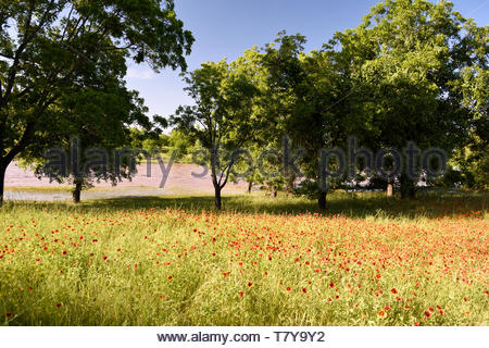 Pedernales River at Lyndon B. Johnson State Park and Indian Blanket Flowers. Texas Wildflowers with Flooded Pedernales River LBJ Ranch, Stonewall TX - Stock Photo