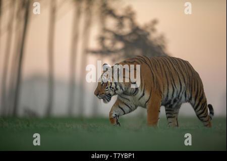 Tiger walking on sunrise . Predator animal. Siberian tiger, Wildlife scene with dangerous animal. - Stock Photo
