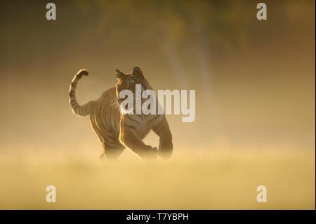 Hunting tiger on morning yellow soft light. Siberian tiger, Panthera tigris altaica - Stock Photo