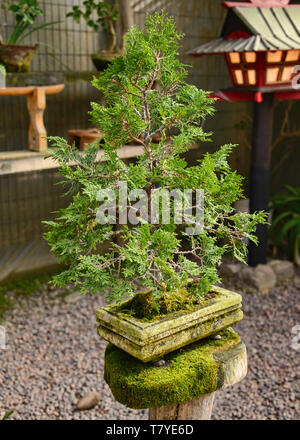 Bonsai tree in the Jardin de Corazon Japanese garden, La Serena, Chile