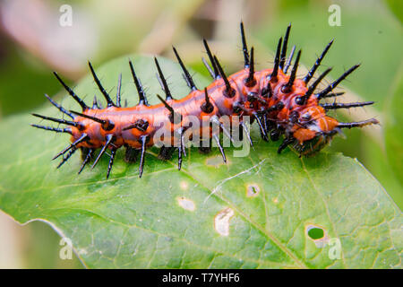 Close up Gulf Fritillary Caterpillar - Stock Photo