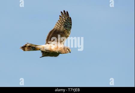 Second year Hen Harrier flies in blue sky - Stock Photo