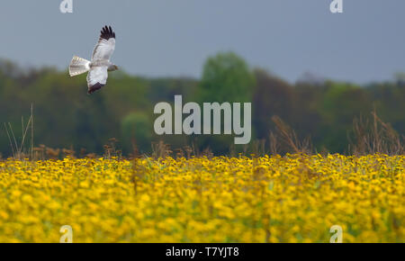 Adult male Hen Harrier flying over the blossoming taraxacum field - Stock Photo