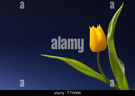Single yellow tulip with two leaves isolated on dark blue background - text space, greeting card - Stock Photo