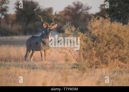 Botswana, Ngamiland, Okavango Delta, Moremi Game Reserve, great kudu - Stock Photo