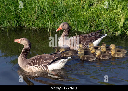 Father and Mother goose swims in the water with Fifteen young goslings and takes good care of them - Stock Photo