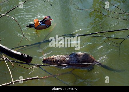 France, Val de Marne, the Marne riverside, Bry sur Marne, male mandarin duck (Aix galericulata) and coypu also known as the nutria (Myocastor coypus) in the foreground Stock Photo