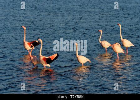 France, Aude, Narbonne, Corbieres, Gruissan, Flamingos (Phoenicopterus roseus) - Stock Photo