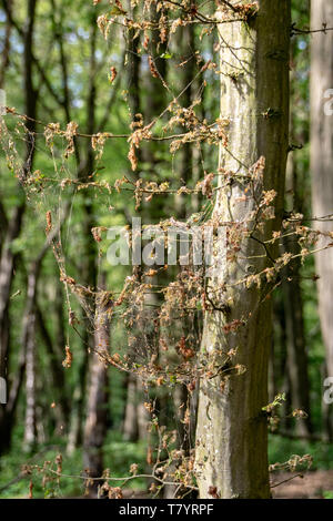 Damage, defoliation and deforestation caused by high numbers of winter moth (Operophtera brumata) caterpillars - Stock Photo