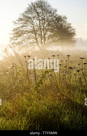 Early morning mist in Spring. A tree in misty countryside soon after dawn, near Lady Bay, Nottinghamshire, England, UK - Stock Photo