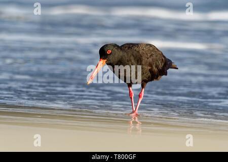 Haematopus fuliginosus - Sooty Oystercatcher hunting on the australian seaside - Stock Photo