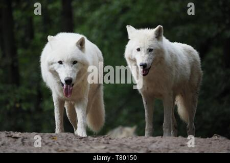 Arctic Wolf (Canis lupus arctos), Title picture, Green background, Portrait - Stock Photo