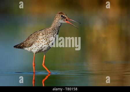 Common Redshank (Tringa totanus) standinf in a shallow water and calling. - Stock Photo