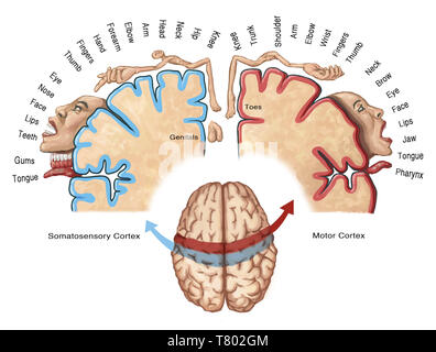Cortical Homunculus Illustration - Stock Photo