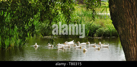 A flock of white domestic ducks swim in the pond in summer under the green tree - Stock Photo